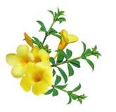 fleur d'allamanda Image stock