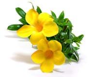 Fleur d'Allamanda sur le fond blanc photo libre de droits