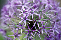 Fleur d'allium Photographie stock