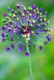 Fleur d'allium Image libre de droits