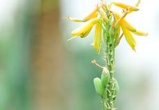 Fleur d'aloès photographie stock