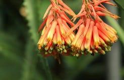 Fleur d'aloès images stock