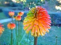 Fleur d'aloès Images libres de droits