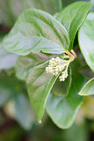 Fleur d'alternanthère Photo stock