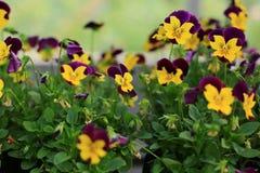 Fleur d'alto dans le jardin Photos stock