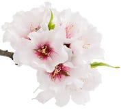 Fleur d'amande photographie stock libre de droits