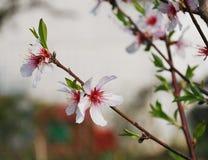 Fleur d'amande Photo libre de droits