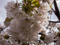 Fleur d'amande Photos stock