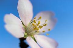 Fleur d'amande Photos libres de droits