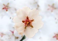Fleur d'amande Photo stock