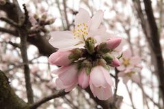 Fleur d'amande image stock