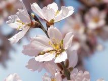 Fleur d'amande Image libre de droits