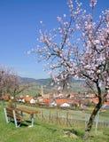Fleur d'amande au Palatinat, Allemagne Photographie stock
