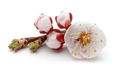 Fleur d'amande avec des bourgeons d'isolement images libres de droits