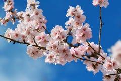 Fleur d'amande de cerise images libres de droits