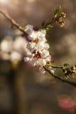 Fleur d'amande, plan rapproché de branche d'amande Photographie stock libre de droits