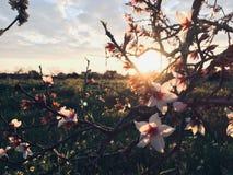 Fleur d'amande photographie stock