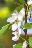 Fleur d'amandes Photo libre de droits