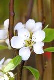Fleur d'amandes Image libre de droits