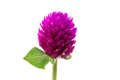 Fleur d'amaranthe de globe Photographie stock libre de droits