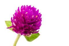 Fleur d'amaranthe de globe Photo stock