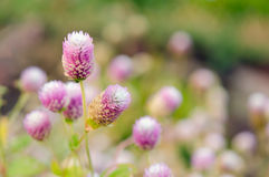 Fleur d'amaranthe de globe avec le foyer sélectif et le backgroun brouillé Photo libre de droits