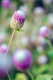 Fleur d'amaranthe de globe avec le foyer sélectif et le backgroun brouillé Images libres de droits