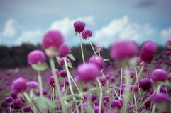 Fleur d'amaranthe de globe dans le ton de vintage Image libre de droits