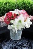 Fleur d'Amarillis Photo libre de droits