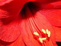 Fleur d'amaryllis Photographie stock