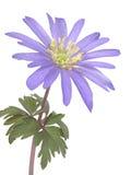 Fleur d'anémone Photographie stock