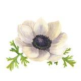 Fleur d'anémone d'aquarelle avec des feuilles Illustration florale tirée par la main avec le fond blanc Illustration botanique Images stock