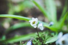 Fleur d'anémone dans le jardin Images stock