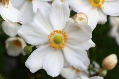 Fleur d'anémone japonaise Images libres de droits