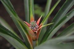 Fleur d'ananas Image libre de droits