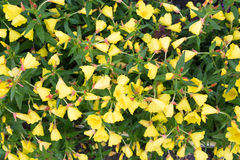 Fleur d'Anatara Photo libre de droits