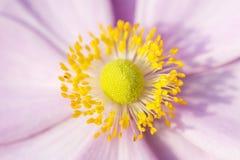 Fleur d'Anemone Pink avec le charme jaune de septembre de stamens photos libres de droits