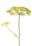 Fleur d'aneth Images stock
