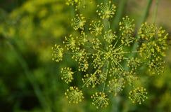Fleur d'aneth Image libre de droits