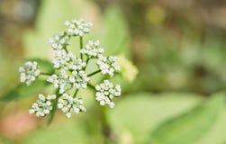 Fleur d'angélique officinale de jardin de plan rapproché photo libre de droits