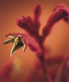 Fleur d'Anigozanthos Images stock