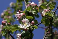 Fleur d'Apple Photographie stock libre de droits