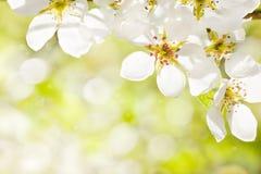Fleur d'Apple Photo libre de droits