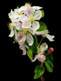Fleur d'Apple Images libres de droits