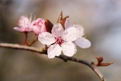 Fleur d'Apple photos stock