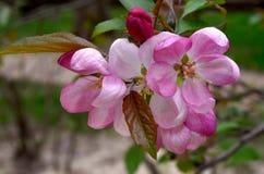 Fleur d'Apple Photos libres de droits
