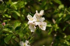 Fleur d'Apple Photographie stock