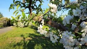 Fleur 1 d'Apple Photographie stock libre de droits