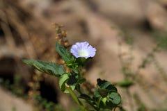 Fleur d'Apple d'usine de Pérou image libre de droits
