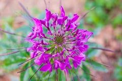 Fleur d'araignée Photo libre de droits